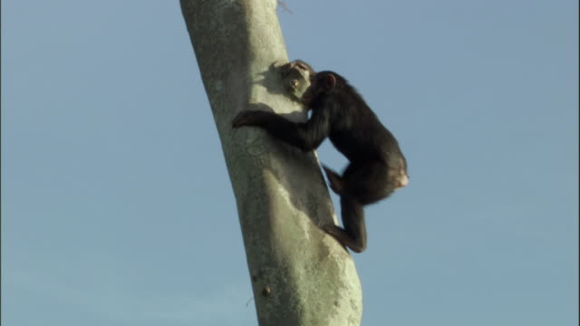 ws la tu pan chimp climbing tree, ngamba island chimpanzee sanctuary, ngamba island, uganda - panning stock videos & royalty-free footage