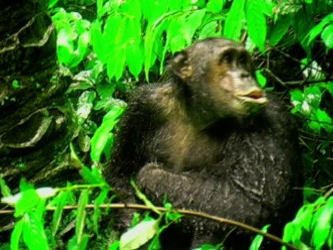 MS, TU, Chimp (Pan troglodytes) climbing up tree in rain, Gombe Stream National Park, Tanzania