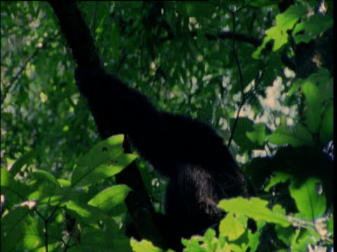 chimp climbs up tree whilst calling, ngogo - communication stock videos & royalty-free footage
