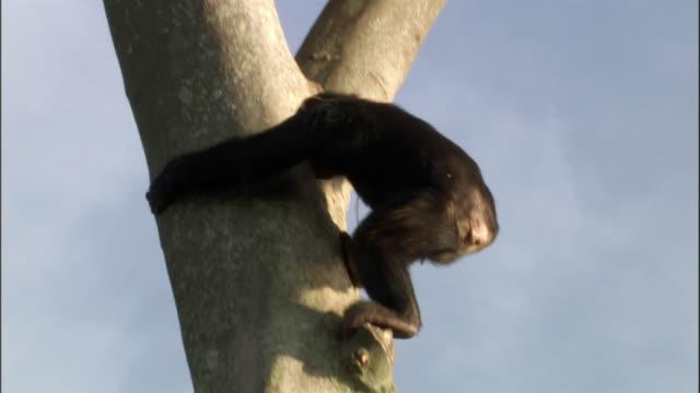 ws td chimp descending from tree, ngamba island chimpanzee sanctuary, ngamba island, uganda - dragon tree stock videos & royalty-free footage
