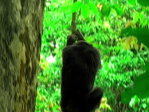 vídeos y material grabado en eventos de stock de ms, td, chimp (pan troglodytes) descending from tree vine, gombe stream national park, tanzania - parque nacional de gombe stream