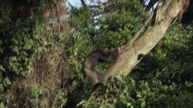 ws td ts chimp descending tree, ngamba island chimpanzee sanctuary, ngamba island, uganda - dragon tree stock videos & royalty-free footage