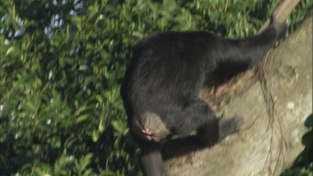 ms td ts chimp descending tree, ngamba island chimpanzee sanctuary, ngamba island, uganda - dragon tree stock videos & royalty-free footage