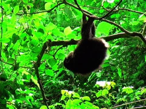 vídeos de stock, filmes e b-roll de ms, chimp (pan troglodytes) hanging on tree in forest, gombe stream national park, tanzania - reserva animal