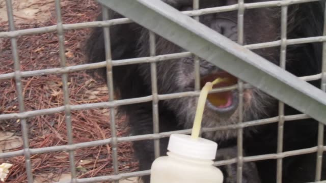 chimp haven refuge veterinarian gives group of chimpanzees vitamins in juice and fruit slices - beruflicher umgang mit tieren stock-videos und b-roll-filmmaterial
