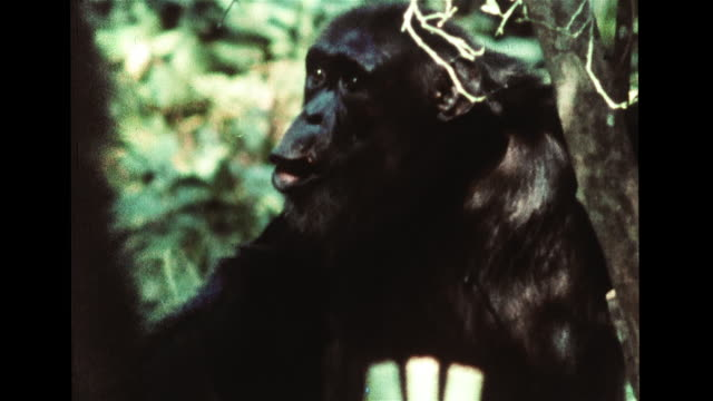 chimp holding food running through group, vs vocal & facial communication signals, fear: chimp screaming, threat: slapping ground, fury: calling out... - 攻撃的点の映像素材/bロール