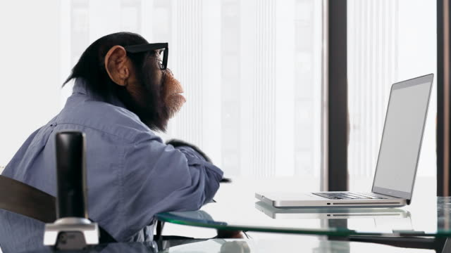 Chimp Laptop Browsing