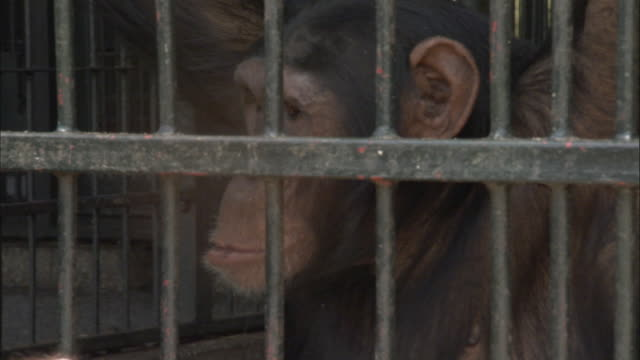 cu pan chimp looking at its foot, ngamba island chimpanzee sanctuary, ngamba island, uganda - cage stock videos & royalty-free footage