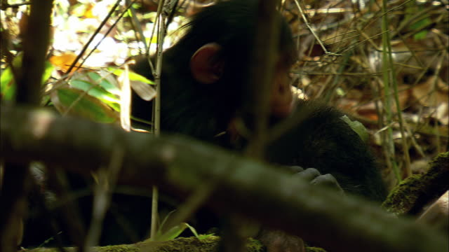 Chimp mother with child