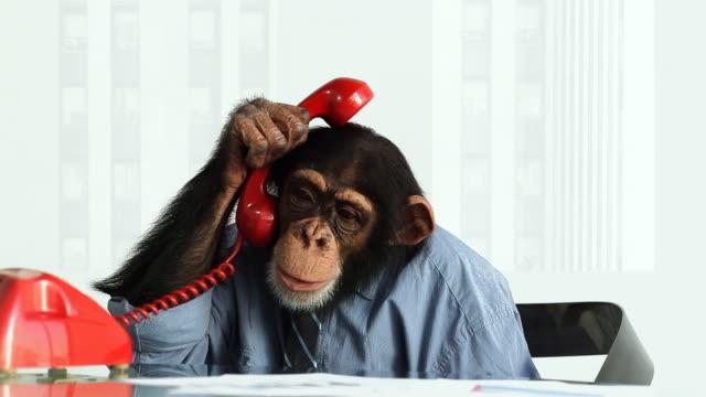 vídeos y material grabado en eventos de stock de chimp problemas de - chimpancé