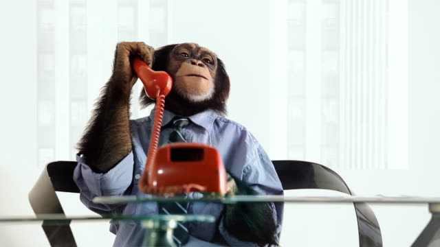 chimp phone talking - primate stock videos and b-roll footage
