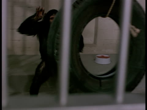 a chimp plays with a rubber tire in a cage. - hochgekrempelte ärmel stock-videos und b-roll-filmmaterial