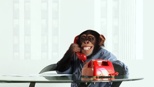 chimp red phone - pet clothing stock videos & royalty-free footage