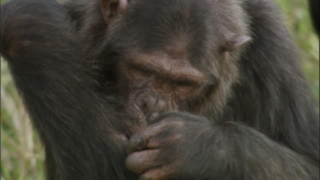 vídeos y material grabado en eventos de stock de cu tu chimp removing insects from fur, ngamba island chimpanzee sanctuary, ngamba island, uganda - acicalarse
