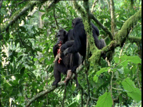 chimp rips apart red colobus and eats it along with fresh green leaves, ngogo - common chimpanzee stock videos & royalty-free footage