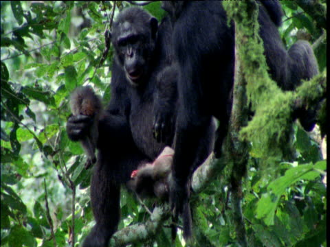 chimp rips apart red colobus and eats it, ngogo - common chimpanzee stock videos & royalty-free footage
