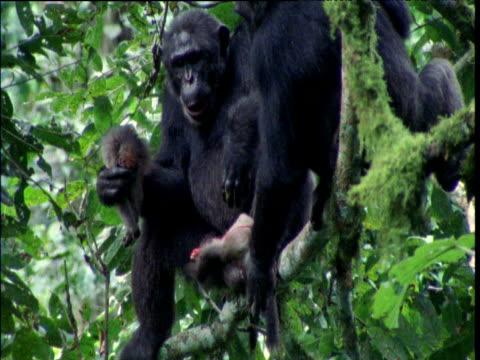vídeos y material grabado en eventos de stock de chimp rips apart red colobus and eats it, ngogo - chimpancé común