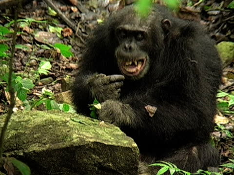 MS, Chimp (Pan troglodytes) sitting in forest, looking at leaf and yawning, Gombe Stream National Park, Tanzania