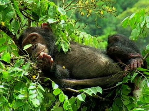 vídeos y material grabado en eventos de stock de ms, chimp (pan troglodytes) sleeping on tree, gombe stream national park, tanzania - parque nacional de gombe stream