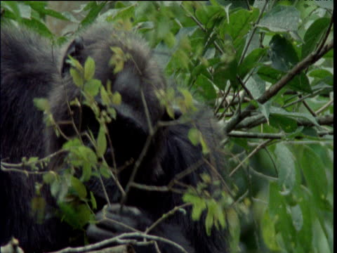 Chimp strips leaves off of branch and eats them, Ngogo