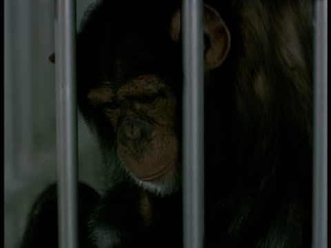 A chimp swings from the bars of a cage.