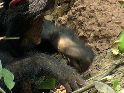 cu, chimp (pan troglodytes) using stick to get termites, gombe stream national park, tanzania - stab stock-videos und b-roll-filmmaterial