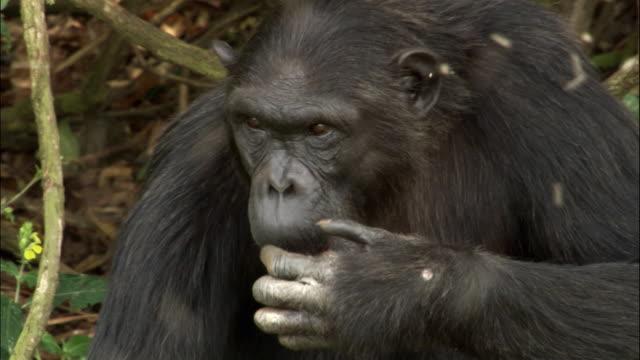 cu chimp with swarm of insects buzzing around, ngamba island chimpanzee sanctuary, ngamba island, uganda - ブンブン鳴る点の映像素材/bロール