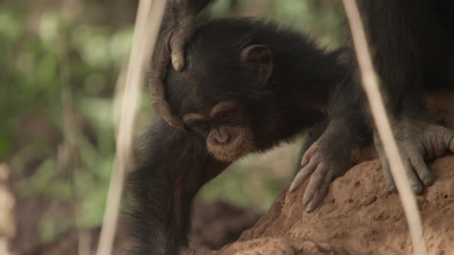 chimpanzee (pan troglodytes) adult clings to baby on termite mound, senegal - chimpanzee stock videos & royalty-free footage