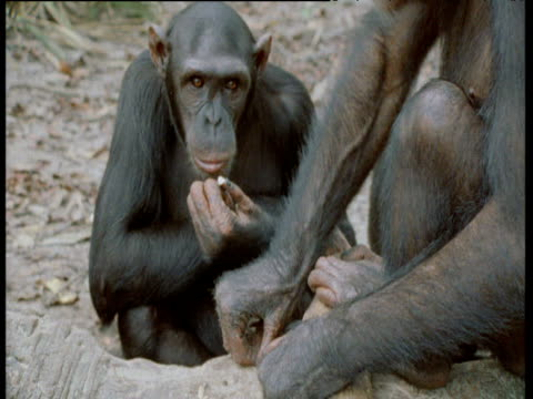 chimpanzee appears to make rude gesture as it scratches its face, congo - common chimpanzee stock videos & royalty-free footage
