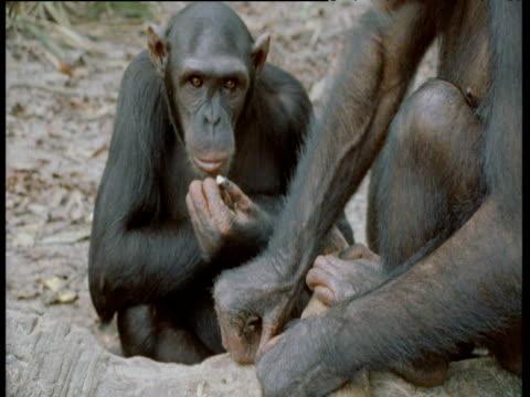 vídeos y material grabado en eventos de stock de chimpanzee appears to make rude gesture as it scratches its face, congo - chimpancé común