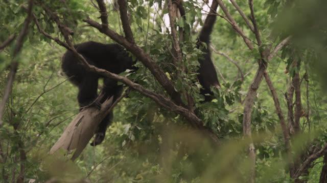 chimpanzee (pan troglodytes) attempts to dislodge galago from tree stump with stick, senegal - chimpanzee stock videos & royalty-free footage