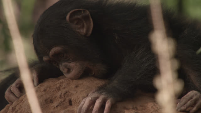 chimpanzee (pan troglodytes) baby bites onto termite mound, senegal - chimpanzee stock videos & royalty-free footage