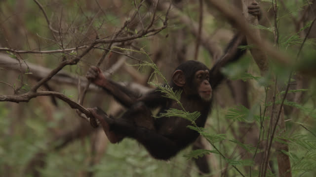chimpanzee (pan troglodytes) baby climbs and dangles from tree, senegal - chimpanzee stock videos & royalty-free footage