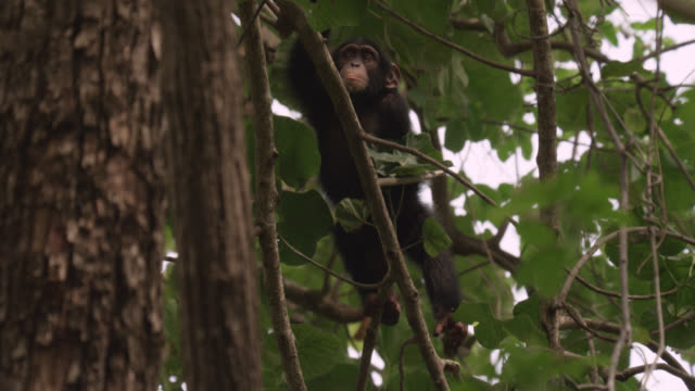 chimpanzee (pan troglodytes) baby climbs into tree in forest, senegal - climbing stock videos & royalty-free footage