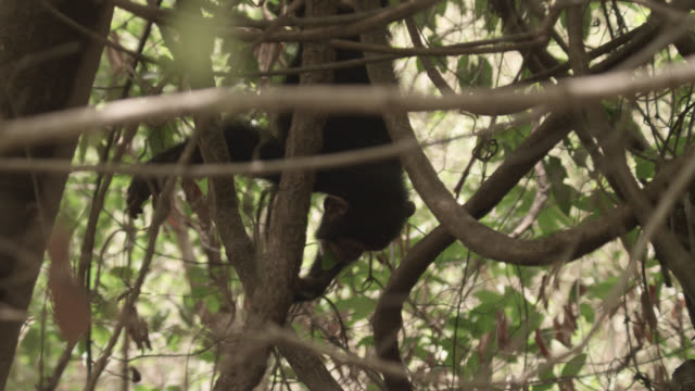 chimpanzee (pan troglodytes) baby dangles and falls from tree, senegal - upside down stock videos and b-roll footage