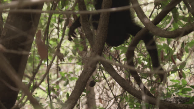 chimpanzee (pan troglodytes) baby dangles and falls from tree, senegal - failure stock videos & royalty-free footage