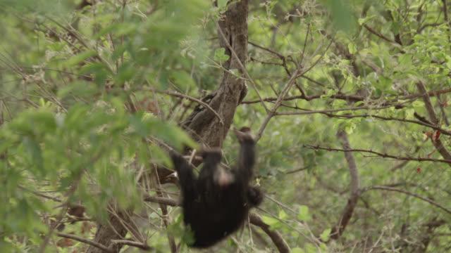 chimpanzee (pan troglodytes) baby dangles and tumbles from tree, senegal - chimpanzee stock videos & royalty-free footage