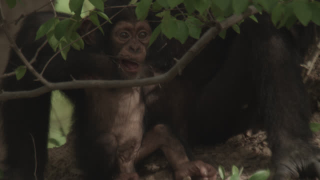 chimpanzee (pan troglodytes) baby plays with twig in forest, senegal - twig stock videos & royalty-free footage