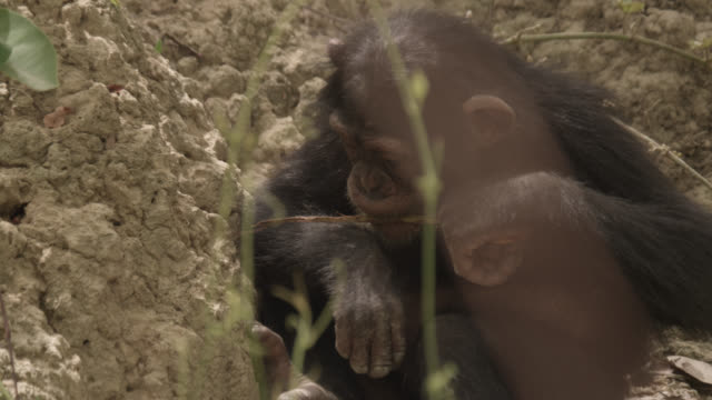 chimpanzee (pan troglodytes) baby practices termite fishing in forest, senegal - chimpanzee stock videos & royalty-free footage