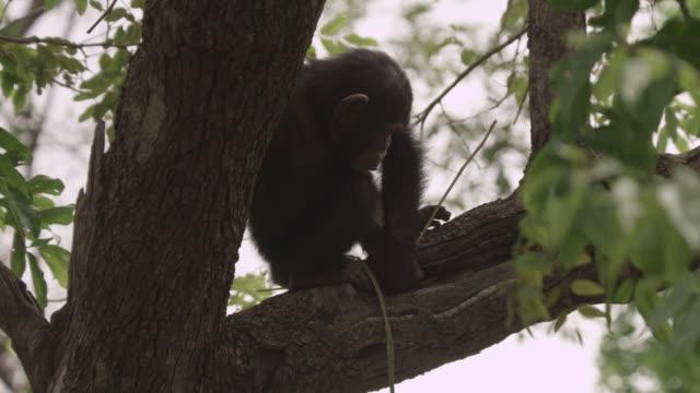 vídeos y material grabado en eventos de stock de chimpanzee (pan troglodytes) baby probes tree hole with stick, senegal - palo parte de planta