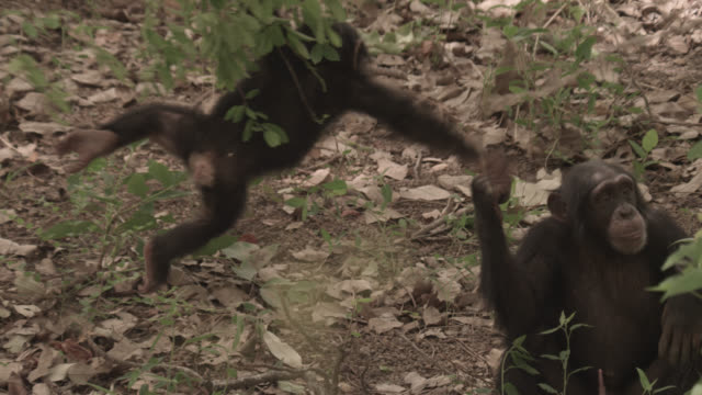 chimpanzee (pan troglodytes) baby swings from branch, senegal - chimpanzee stock videos & royalty-free footage