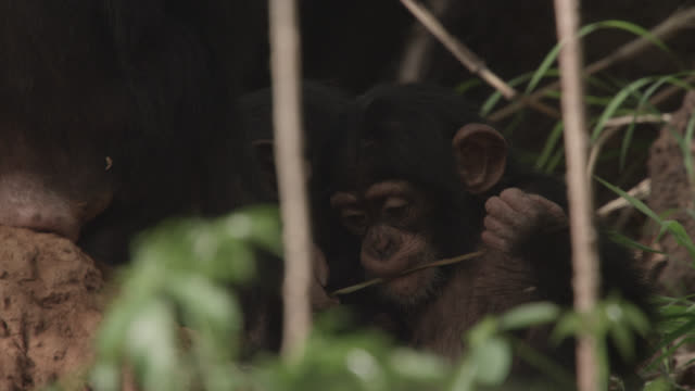 chimpanzee (pan troglodytes) baby watches adults termite fishing, senegal - chimpanzee stock videos & royalty-free footage