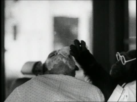 vidéos et rushes de b/w 1939 chimpanzee barber wearing eyeglasses putting lather on face of man / short - barber shop