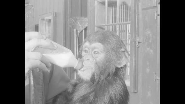 Chimpanzee being bottlefed / CU chimpanzee drinking from bottle looking into camera / closer view