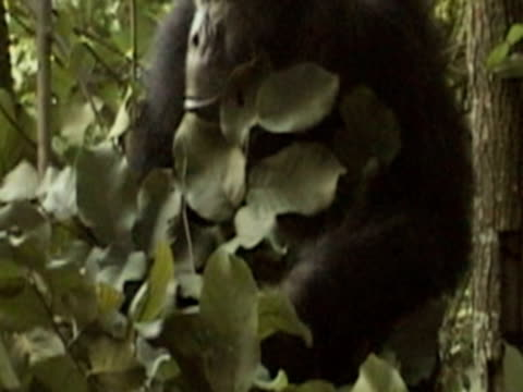cu, chimpanzee (pan troglodytes) building nest and lying in forest, gombe stream national park, tanzania - animal nest stock videos and b-roll footage