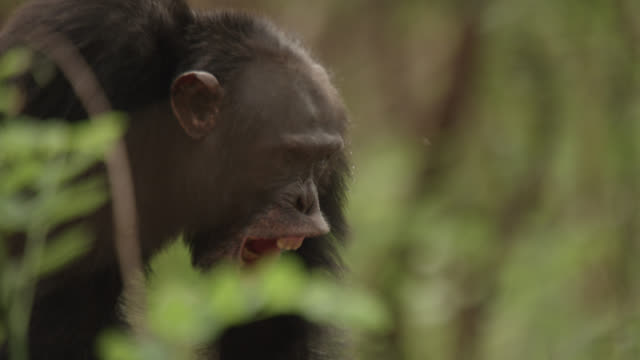 chimpanzee (pan troglodytes) calls and yawns in forest, senegal - animal call stock videos & royalty-free footage