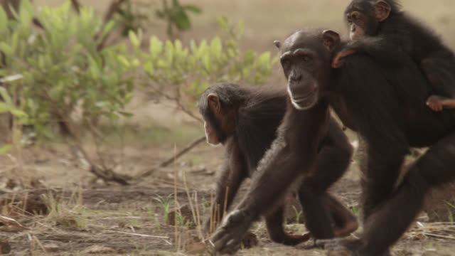 chimpanzee (pan troglodytes) carries baby in forest clearing, senegal - chimpanzee stock videos & royalty-free footage