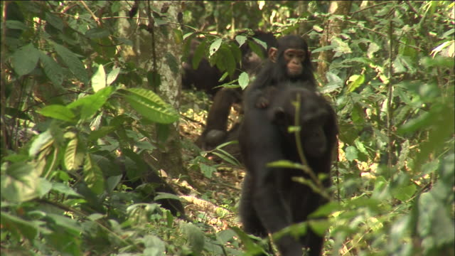 chimpanzee carries infant on back in forest, kibale, uganda - common chimpanzee stock videos & royalty-free footage