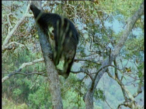 chimpanzee carries struggling red colobus monkey down tree, gombe national park, tanzania - common chimpanzee stock videos & royalty-free footage