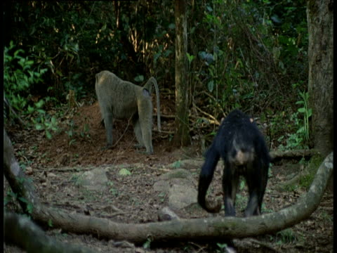 vídeos y material grabado en eventos de stock de chimpanzee chases off olive baboon and throws stone at baboon, chimp then turns and runs away and baboon returns to ant hill - parque nacional de gombe stream